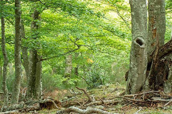 The Forêt de la Massane National Nature Reserve